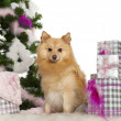 Stock Photo: Pomeranian, 18 months old, with Christmas tree and gifts in front of white background