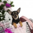 Chihuahua puppy, 5 months old, getting out a box with Christmas tree and gifts in front of white background — ストック写真