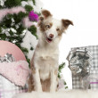 Miniature Australian Shepherd puppy, 1 year old, with Christmas tree and gifts in front of white background — Stock Photo #10907916