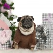 Pug, 6 years old, with Christmas tree and gifts in front of white background — Stock Photo
