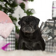 Pug, 13 years old, with Christmas tree and gifts in front of white background - Stock Photo