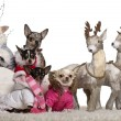 Chihuahuas, 4 years, 1.5 years and 2 years old with Chihuahua puppies, 8 months and 10 months old, in Christmas sleigh in front of white background — Stock Photo