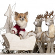 Chihuahua, 5 years old, in Christmas sleigh in front of white background — Stock Photo