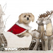 Mixed-breed dog, 5 years old, in Christmas sleigh in front of white background — Stock Photo