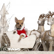 Chihuahua puppy, 4 months old, in Christmas sleigh in front of white background — Stock Photo