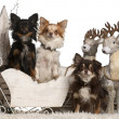 Chihuahuas, 2 years old and 18 months old in Christmas sleigh in front of white background — Stock Photo