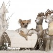 Chihuahua puppy, 6 months old, in Christmas sleigh in front of white background — Stock Photo