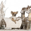 Royalty-Free Stock Photo: Chihuahua puppy, 6 months old, in Christmas sleigh in front of white background