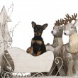 Chihuahua puppy, 2 months old, in Christmas sleigh in front of white background — Stockfoto