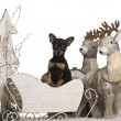 Chihuahua puppy, 2 months old, in Christmas sleigh in front of white background — Foto Stock