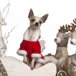Chihuahua, 1 year old, in Christmas sleigh in front of white background — Stock Photo