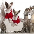 Chihuahuas, 1 year old, in Christmas sleigh in front of white background — Foto Stock