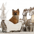 Chihuahua, 10 months old, German Spitz puppy, 5 months old, in Christmas sleigh in front of white background — Stok fotoğraf
