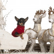 Chihuahua, 2 years old, in Christmas sleigh in front of white background — Zdjęcie stockowe
