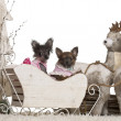 Chihuahua puppy, 12 weeks old, Chinese Crested Dog puppy, 3 months old, in Christmas sleigh in front of white background — Stockfoto