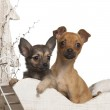 Chihuahua puppies, 4 months and 3 months old, in Christmas sleigh in front of white background — Stock Photo
