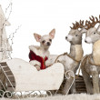 Chihuahua, 7 months old, in Christmas sleigh in front of white background - Stock Photo