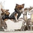Stock Photo: Chihuahupuppy, 6 months old, and Chihuahua, 9 months old, in Christmas sleigh in front of white background