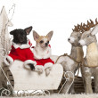 Chihuahua, 7 months old, and Chihuahua, 8 months old, in Christmas sleigh in front of white background — Foto de Stock