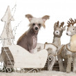 Chinese Crested Dog puppy, 4 months old, in Christmas sleigh in front of white background — Stock Photo