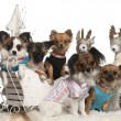 Chihuahuas in Christmas sleigh in front of white background — 图库照片
