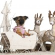 Chihuahua puppy, 2 months old, in Christmas sleigh in front of white background — Stok fotoğraf