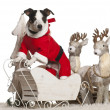 Stock Photo: Jack Russell Terrier, 7 year old, in Christmas sleigh in front of white background