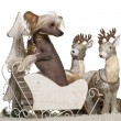 Chinese Crested Dog, 1 year old, in Christmas sleigh in front of white background - Stock Photo