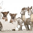 Chihuahua puppies, 3 months old, in Christmas sleigh in front of white background — Stock Photo