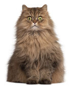 Persian cat, 6 years old, in front of white background — Stockfoto