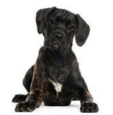 Mixed-breed puppy, 4 months old, lying in front of white background — Stock Photo