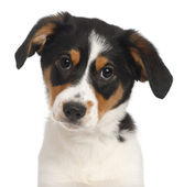 Close-up of Mixed-breed puppy, 2 and a half months old, in front of white background — Stock Photo