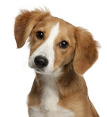 Close-up of Mixed-breed puppy, 4 months old, in front of white background — Stock Photo