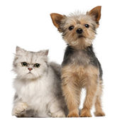 Yorkshire Terrier, 3 years old, and a Persian cat in front of white background — Stock Photo