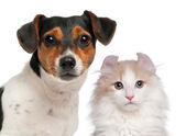 Jack Russell Terrier, 2 and a half years old and a American Curl kitten, 3 months old, in front of white background — Stock Photo