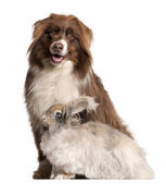 Australian Shepherd dog and English Angora rabbit in front of white background — Stock Photo