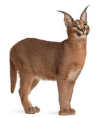 Close-up of Caracal, Caracal caracal, 6 months old, in front of white background — Stock Photo
