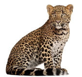 Leopard, Panthera pardus, 6 months old, lying in front of white background — Stock Photo