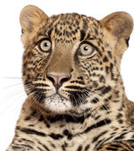 Leopard, Panthera pardus, 6 months old, sitting in front of white background — Stock Photo