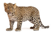 Leopard, Panthera pardus, 6 months old, standing in front of white background — Stock Photo