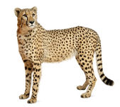 Cheetah, Acinonyx jubatus, 18 months old, sitting in front of white background — Stock Photo