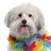 Close-up of Mixed-breed dog, 10 months old, wearing Hawaiian lei in front of white background — Stock Photo