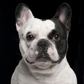 French Bulldog, 3 years old, in front of black background — Stok fotoğraf