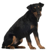 Jagdterrier or German Hunt Terrier, 4 years old, sitting in front of white background — Stock Photo