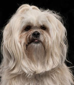 Close-up of Lhasa Apso, 2 and a half years old, in front of black background — Stock Photo