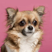 Close-up of Chihuahua, 3 years old, in front of pink background — Stock Photo