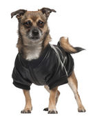 Mixed-breed dog wearing shirt, 6 years old, standing in front of white background — Stock Photo
