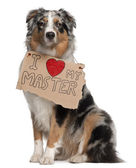 Australian Shepherd dog, 10 months old, sitting in front of white background with sign — Stock Photo
