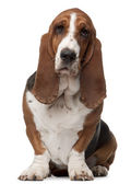 Basset Hound, 2 years old, sitting in front of white background — Stock Photo