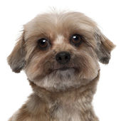 Close-up of Shih tzu, 5 years old, in front of white background — Stok fotoğraf